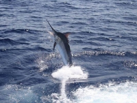 black_marlin